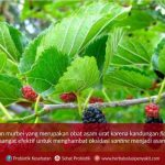 daun murbei herbal asam urat