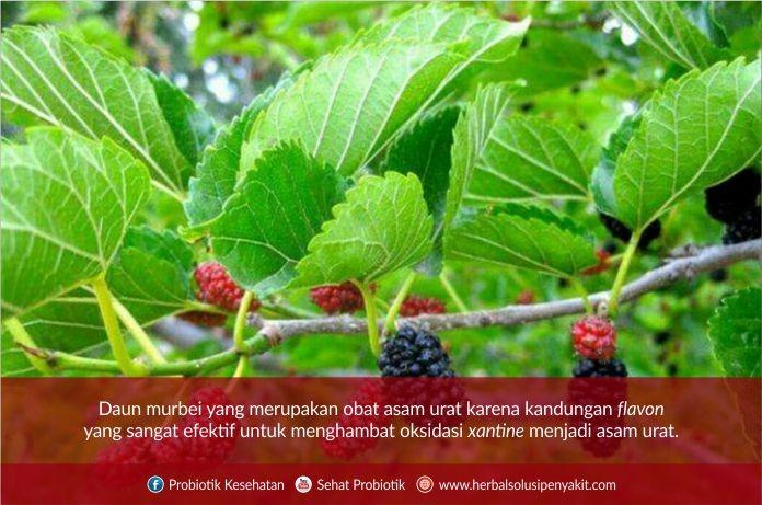 daun murbei herbal asam urat